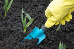 A gardener gloved hand planting